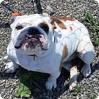 Adopt A Pet :: Zola - Buffalo, NY