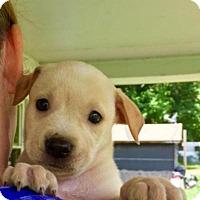Adopt A Pet :: Shiraz - Barnegat, NJ
