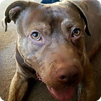 American Staffordshire Terrier Mix Dog for adoption in Kewanee, Illinois - Turner