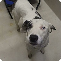 Adopt A Pet :: Maya - Middlebury, CT