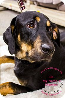 Black and Tan Coonhound Mix Dog for adoption in Staten Island, New York - Sheehan