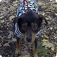 Shepherd (Unknown Type) Mix Dog for adoption in Detroit, Michigan - Autumn