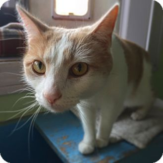 Domestic Shorthair Cat for adoption in Indianapolis, Indiana - Mimi