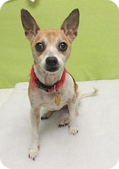 Rat Terrier/Chihuahua Mix Dog for adoption in Austin, Texas - Bonnie