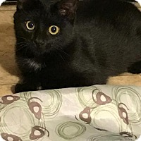 Domestic Shorthair Kitten for adoption in Parker Ford, Pennsylvania - Benz