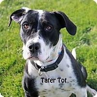 Adopt A Pet :: Tater Tot - Idaho Falls, ID