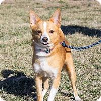 Corgi Mix Dog for adoption in Murphysboro, Illinois - Malichi