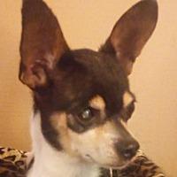 Adopt A Pet :: Little Man - Plainfield, CT