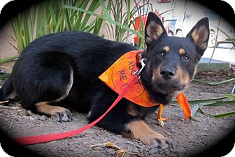 Shepherd (Unknown Type)/Chow Chow Mix Puppy for adoption in san diego, California - SUZETTE