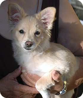 Ariel | Adopted Puppy | Arcadia, CA | Pomeranian/Chihuahua Mix