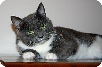 Domestic Shorthair Cat for adoption in Ephrata, Pennsylvania - Julie has FIV