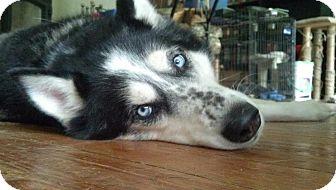 Husky/Alaskan Malamute Mix Dog for adoption in Marietta, Georgia - Daisy