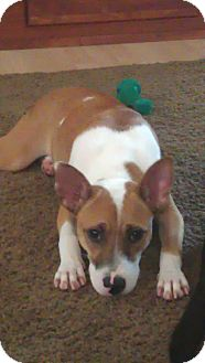 Terrier (Unknown Type, Medium) Mix Puppy for adoption in sterling, Massachusetts - Spice