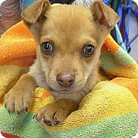 Adopt A Pet :: Buzz - Wickenburg, AZ