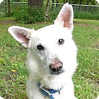 Adopt A Pet :: Snowball - Mocksville, NC