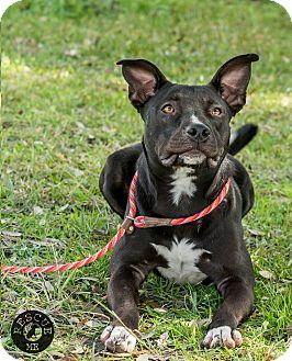 Labrador Retriever/Terrier (Unknown Type, Medium) Mix Puppy for adoption in El Campo, Texas - Buddy
