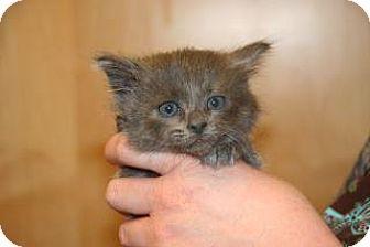 Domestic Mediumhair Kitten for adoption in Wildomar, California - 296548