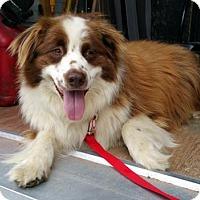 Adopt A Pet :: Gentle Ben - Malakoff, TX