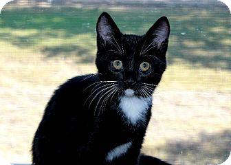 Domestic Shorthair Cat for adoption in Menifee, California - Roy