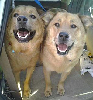 Golden Retriever/Labrador Retriever Mix Dog for adoption in Los Angeles, California - Teddy and Candy