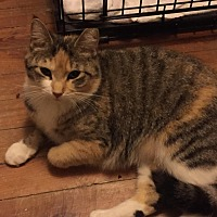Adopt A Pet :: Cali (Jeannie's Cat) - Medford, NJ