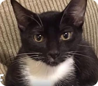 Domestic Shorthair Cat for adoption in Wichita, Kansas - Sox