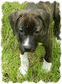 Hound (Unknown Type)/Labrador Retriever Mix Puppy for adoption in Ozark, Alabama - Jay Jay
