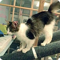 Domestic Longhair Cat for adoption in Leonardtown, Maryland - Lilly 2