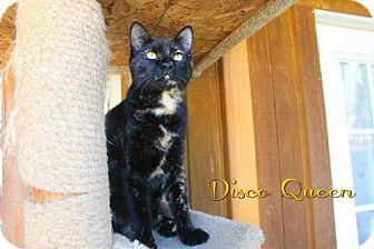 Domestic Mediumhair Cat for adoption in Benton, Louisiana - Disco Queen