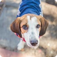 Adopt A Pet :: Harvey - NEEDS FOSTER! - Washington, DC