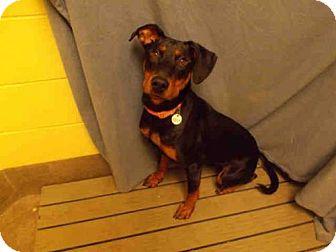 Doberman Pinscher Dog for adoption in Upper Marlboro, Maryland - *OPRAH