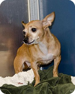 Chihuahua Mix Dog for adoption in Bellingham, Washington - Missy