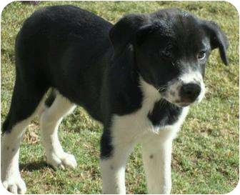 Border Collie/Anatolian Shepherd Mix Puppy for adoption in Phoenix ...