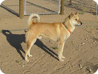 Jindo Dog for adoption in Southern California, California - Daibok