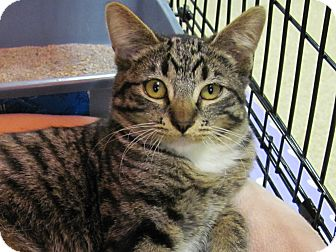 Domestic Shorthair Kitten for adoption in Diamond Bar, California - APRIL