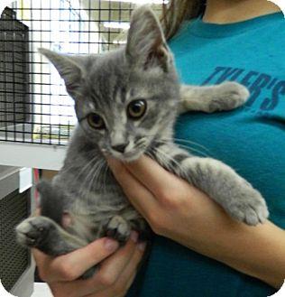Domestic Shorthair Kitten for adoption in Troy, Ohio - Tiajuana