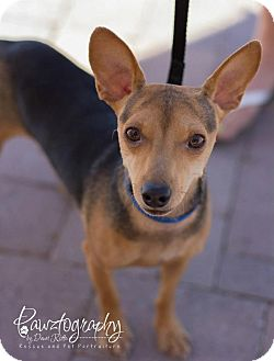 Miniature Pinscher/Chihuahua Mix Dog for adoption in Scottsdale, Arizona - Petry