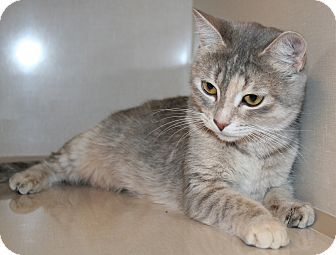Domestic Shorthair Cat for adoption in Edmonton, Alberta - Misty