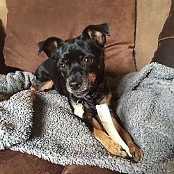Photo 4 - Miniature Pinscher Dog for adoption in Nashville, Tennessee - Lexus