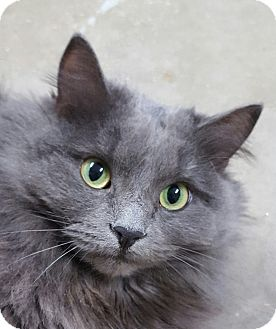 Domestic Longhair Cat for adoption in Port Hope, Ontario - Bella