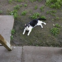 Domestic Shorthair Cat for adoption in Elk Grove, California - Eddie