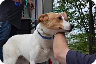 Labrador Retriever/Terrier (Unknown Type, Medium) Mix Dog for adoption in Chichester, New Hampshire - Kurt--in NH