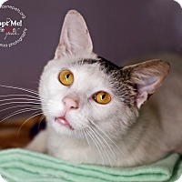Domestic Shorthair Cat for adoption in Lyons, New York - Sarge