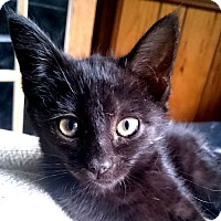Domestic Mediumhair Kitten for adoption in Rutherfordton, North Carolina - Olive Oyl