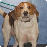 Adopt A Pet :: Scotty - Stafford, VA