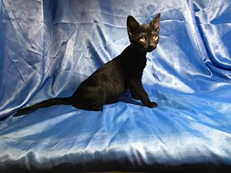 Domestic Shorthair Kitten for adoption in Sarasota, Florida - Markus