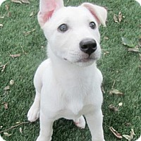 Adopt A Pet :: Blossom - Dallas, TX