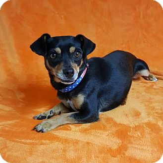 Chihuahua Mix Dog for adoption in Yucaipa, California - Duchess