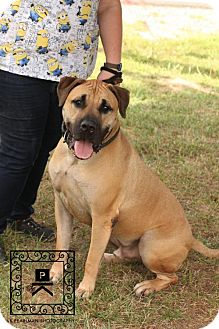 Mastiff/Great Dane Mix Dog for adoption in Fredericksburg, Virginia - Spotsylvania Shelter #16-3925 'Lennix'