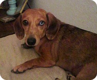 Dachshund Mix Dog for adoption in Brunswick, Maine - Mia